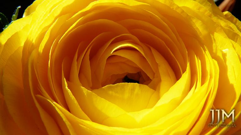 Macro de flor amarela.